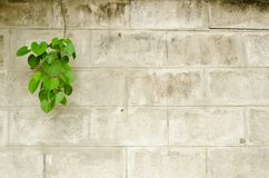Old brick wall with green leafs Royalty Free Stock Photography