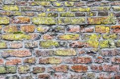 Red brick with green lichen. Old brick wall with grey mortar and various shades of red and brown and with a bright green lichen-like layer royalty free stock photos