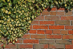 Old Brick Wall with Ivy Stock Photo