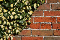 Old Brick Wall with Ivy Stock Photography