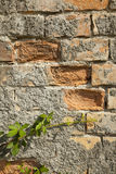 Old brick wall with moss growing Royalty Free Stock Photo