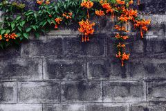 Old brick wall. Orange flower on old brick wall Stock Photo