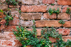 Old brick wall with plants Royalty Free Stock Photos