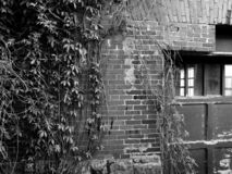 Old brick wall with vines creeping up the side. Black and white stock photography