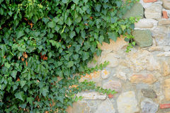 Old brick wall and wild grapes Stock Photo