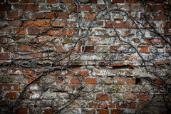 Old brick wall with withered plants. Old brick wall, broken with withered plants Stock Photo