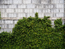 Old brick walls large blocks of Velcro grass clinging to the wal. Ls Royalty Free Stock Image