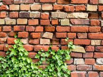 Old brickwall overgrown with ivy plant Stock Images