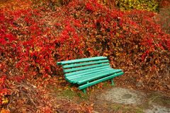 Old bright green bench against the background of red wild grapes. royalty free stock photography