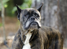 Old Brindle Boxer dog with gray muzzle. Senior red brindle female Boxer dog with wrinlkes on muzzle. Humane society pet adoption photo; outdoor dog photography Stock Photos