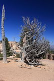 Old bristlecone pine in bryce canyon. A 1600yr old bristlecone pine tree in Bryce canyon. Although looking dry and dead, it's still living, under very difficult royalty free stock image