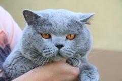 old british cat portrait Royalty Free Stock Photos