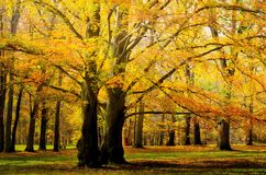 Old broad leaf probably beech trees in the park at autumn afternoon daylight. Foliage. Red, yellow royalty free stock image