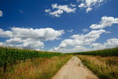 Old broken sand path between fields with corn Royalty Free Stock Image