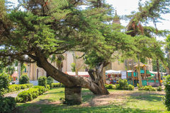 Old broken tree in the city park. Vada, Italy Stock Photos