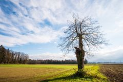 Old broken tree. In agricultural farmland Royalty Free Stock Photography