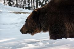 Old brown bear hunting in winter forest Royalty Free Stock Photo