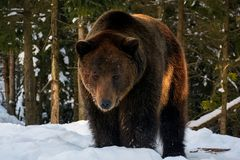Old brown bear stand in the winter forest. Old brown bear stand and stare in the winter forest. lovely wildlife scenery in evening light royalty free stock photography