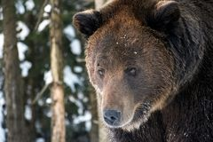 Old brown bear staring somewhere Stock Photography