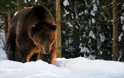 Old brown bear walking in the winter forest Stock Photo