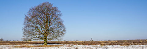 Old brown beech in a snowy landscape Stock Photos