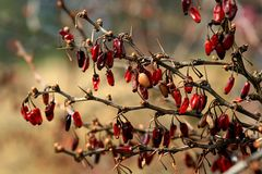 Old brown branch with red berries royalty free stock images