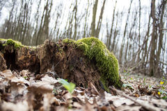Old brown decay stump with moss in autumn forest Royalty Free Stock Photography