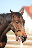 Old brown horse yawning Royalty Free Stock Image