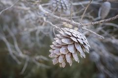 Old brown pine on a dry pine branch.  royalty free stock images