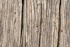 Old brown tree bark with red ladybugs Royalty Free Stock Image