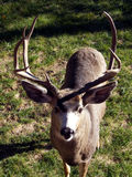 Old Buck. Male mule deer with a couple of broken points on his rack royalty free stock photo