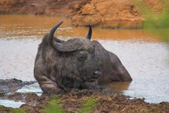 Old Buffalo. Old Cape Buffalo Bull cooling off in the water Stock Photos
