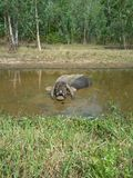 Old buffalo in the pool Royalty Free Stock Photography