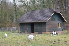 Old building and goats in a petting zoo. An old building for goats in a Dutch petting zoo stock image