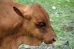 An old bull at a caribbean coconut plantation Royalty Free Stock Image