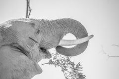 old bull elephant eating Stock Image