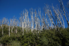 Free Old Burnt Trees Being Taking Over By New Growth Stock Photography - 80292032