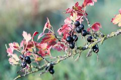 Old bush with black currant berries and diseased branches and red leaves. Closeup royalty free stock images
