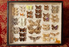 Old butterfly collection Stock Photo