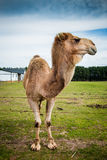 Old camel. In a pasture looking away stock photos