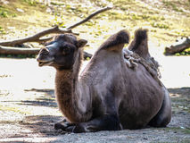 Old camel in shadow Royalty Free Stock Photo