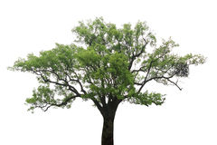 Old camphor tree Royalty Free Stock Photo
