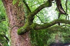 Old camphor tree Royalty Free Stock Photos