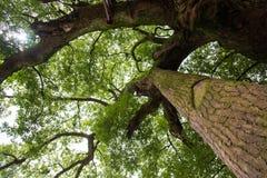 Old camphor tree Stock Photos
