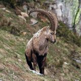 Old Capra Ibex. Close view of an old capra ibex standing and looking around Royalty Free Stock Photos