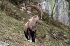 Old Capra Ibex Stock Image
