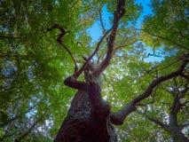 Old Caraorman Oak Forest, amazing tourist attraction in Danube Delta, Romania.  stock images