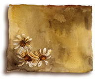 Old card with daisies. Watercolor brown ancient card with white daisies on white background royalty free illustration