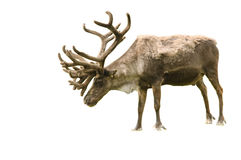 Old caribou Stock Image