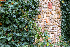 Old castle's walls covered with green ivy Royalty Free Stock Images
